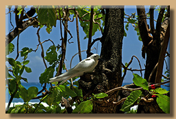 Tropikvogel