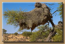 Webervogel-Nest