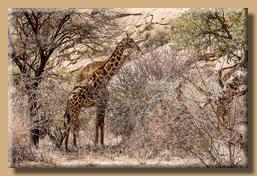 Unsere erste Giraffe in Namibia