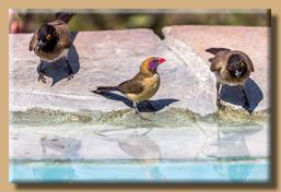 Viele bunte Vögel kommen zum Pool