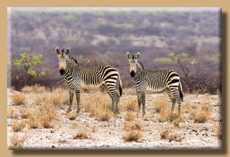 Zebras beäugen uns aus einem sicheren Abstand