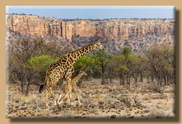 Giraffe mit Baby