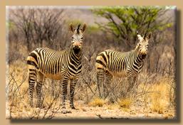 Zebras am Wegesrand