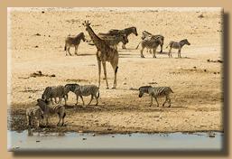 Die Tiere kommen immer wieder an das Wasserloch