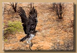Afrikanischer Kampfadler