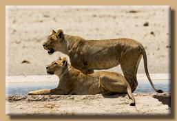 Unsere ersten Löwen im Etosha N.P.