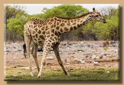 Typische Haltung der Giraffen beim Trinken