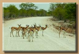ACHTUNG! Impalas kreuzen die Fahrbahn