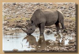 Auch Nashörner haben Durst