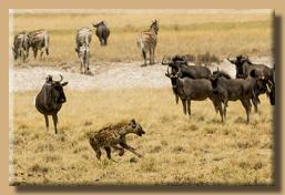 Eine Fleckehyäne bringt Unruhe in die Herden