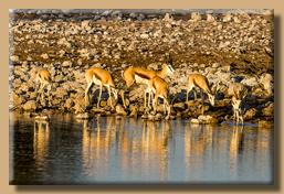 Auch die Impalas suchen am Morgen das Wasserloch auf