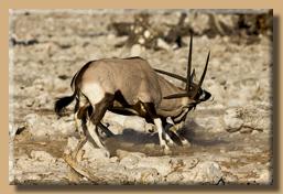 Kämpfende Oryx-Antilopen