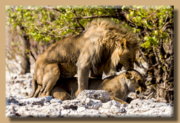 Königliche Paarung