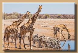 Giraffen teilen sich das Wasserloch mit Zebras